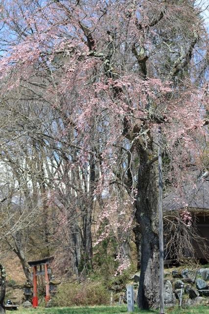 撤然桜1.JPG